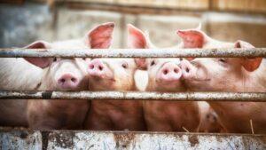 Holocausto porcino